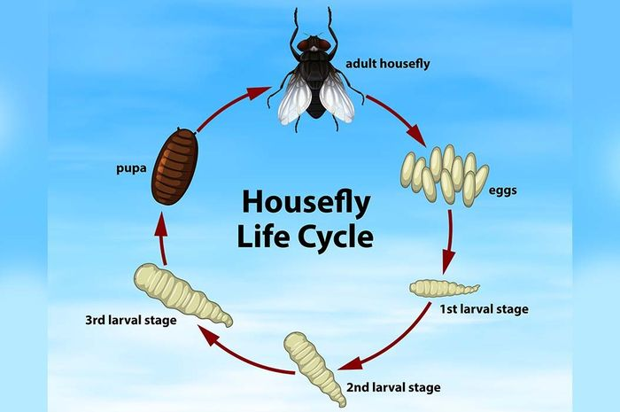 Fase transformasi lalat, contoh hewan yang mengalami metamorfosis sempurna.