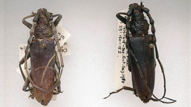 Kumbang rawa kuno. [Museum Sejarah Alam (NHM)]