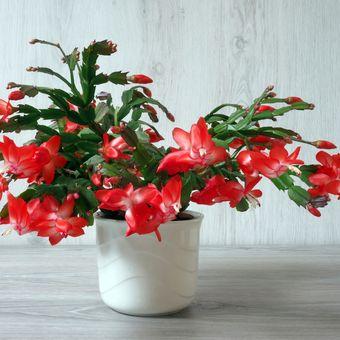 Deskripsi tanaman hias kaktus natal.