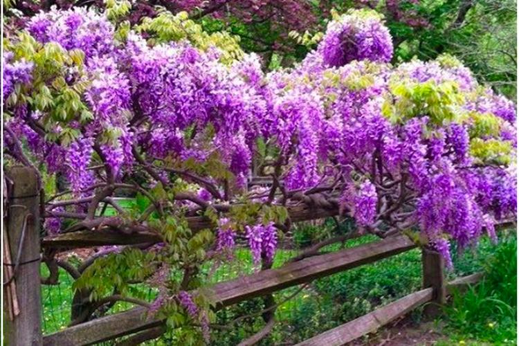 tanaman wisteria