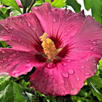 Deskripsi tanaman dengan bunga berwarna terang atau tanaman dengan bunga berwarna terang.
