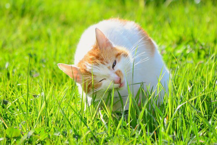 Menjelaskan kucing makan rumput