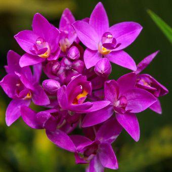Bagan bunga anggrek Spathoglottis plicata.