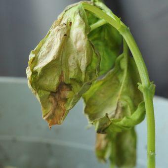 Deskripsi tanaman yang terkena jamur layu Verticillium atau layu Verticillium.